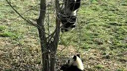 Смотреть Падающая панда