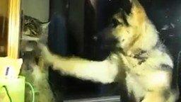 Овчарёнок и кот смотреть видео прикол - 0:41
