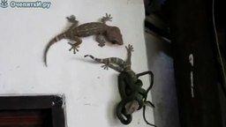 Смотреть Две ящерицы против змеи