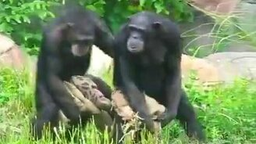 Синхронные шимпанзе смотреть видео прикол - 0:33