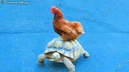 Курица и черепаха смотреть видео прикол - 0:10