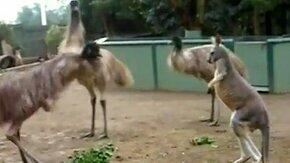 Игра кенгуру и страуса смотреть видео прикол - 1:56