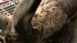 Кролик-гигант смотреть видео прикол - 1:01