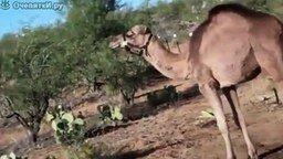 Смотреть Девушка и верблюд