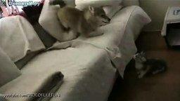 Смотреть Пёс заигрывает с котёнком