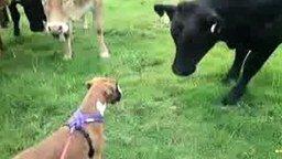 Смотреть Знакомство коров и пёсика