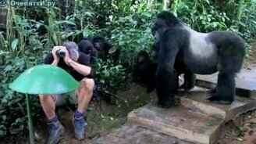 Смотреть Знакомится с гориллами