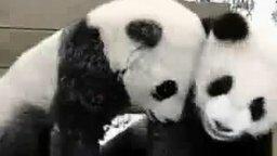 Смотреть Забавные панды