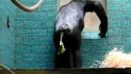 Смотреть Странное поведение обезьяны