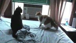 Поединок настоящих котов смотреть видео прикол - 0:48