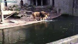 Смотреть Львам повезло с обедом