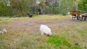 Смотреть Петух гоняет чёрного кота
