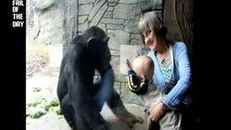 Шимпанзе атакует