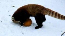 Смотреть Красная панда резвится