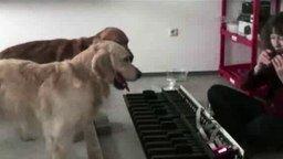 Смотреть Собаки играют собачий вальс