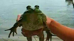 Смотреть Лягушка-сирена