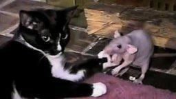 Кошка против крысы смотреть видео прикол - 0:35