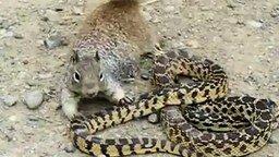Смотреть Белка против змеи