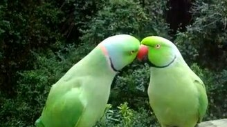 Смотреть Попугаи курлыкают