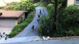 Олени против кота