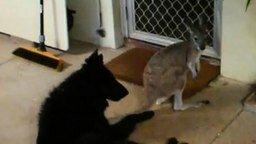 Смотреть Собака против кенгуру