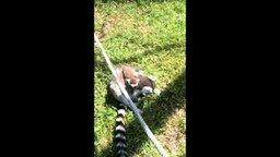 Смотреть Малыш лемур и верёвка