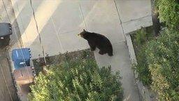 Смотреть Медведь гуляет по улицам