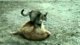 Кошачий тайский массаж смотреть видео прикол - 1:08