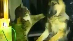 Овчарёнок против кошки смотреть видео прикол - 0:41