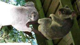 Схватка двух коал смотреть видео прикол - 1:25