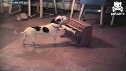 Щенок поёт и играет на пианино смотреть видео прикол - 0:28