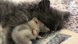 Смотреть Бесстрашная мышка возле кошки