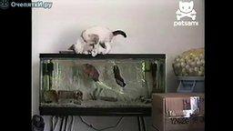 Смотреть Рыба охотится на кошку