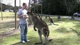 Верный друг кенгуру смотреть видео прикол - 1:45