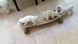 Смотреть Щенки-скейтеры
