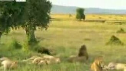 А львы умеют петь! смотреть видео прикол - 1:19