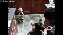 Смотреть Собаки-фокусницы