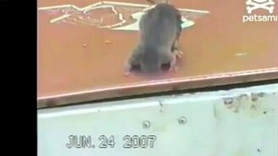 Смотреть Мышка застряла
