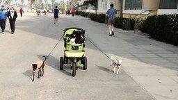 Смотреть Собаки везут собак