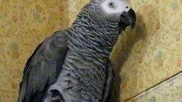 Смотреть Шоколадный попугайчик