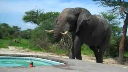 Слон и бассейн смотреть видео прикол - 1:15