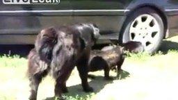 Смотреть Полицейские собаки разбивают кошачью битву