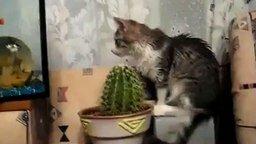 Смотреть Кот пытается съесть кактус