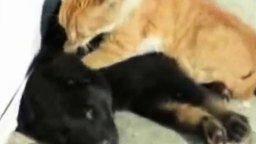 Смотреть Тайский массаж кота для собаки