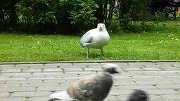 Хищная чайка смотреть видео прикол - 0:37
