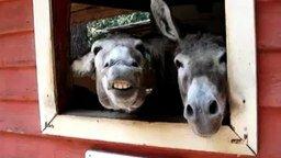 Смотреть Три смешных осла