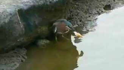 Смотреть Эта птица - настоящий рыболов