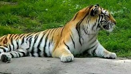 Смотреть Мощный тигриный чих