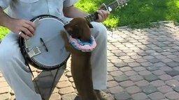 Смотреть Такса играет на банджо