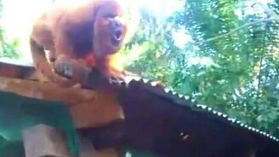 Ревущие обезьяны смотреть видео прикол - 0:37